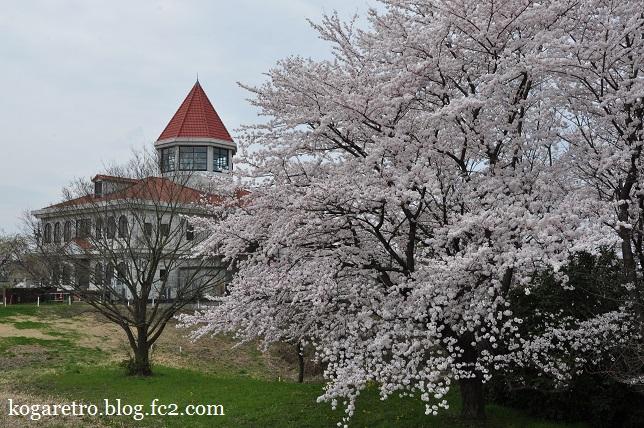 渡良瀬遊水地の桜5