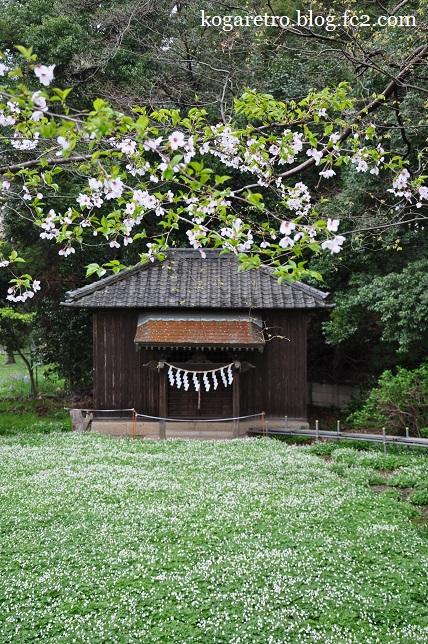 野木神社の二輪草と桜2