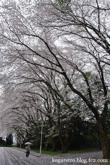 最後のキョーリンの桜2