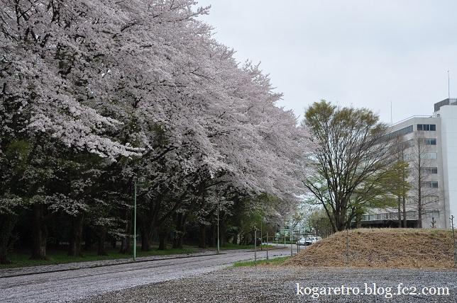 最後のキョーリンの桜3