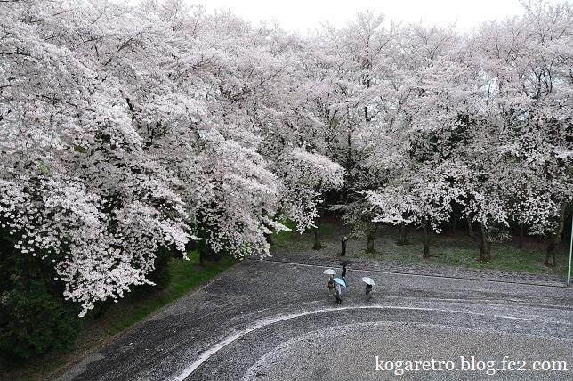 最後のキョーリンの桜4
