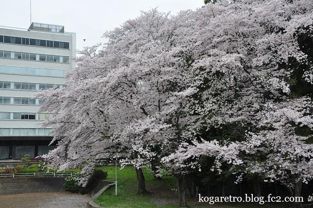 最後のキョーリンの桜