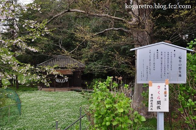 野木神社の二輪草と桜