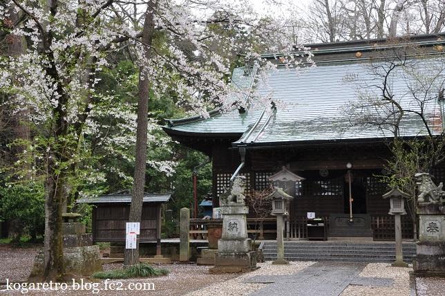 野木神社の二輪草と桜3