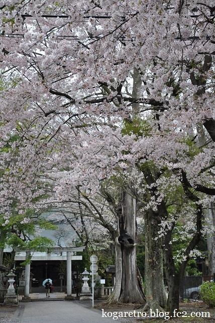 野木神社の二輪草と桜4