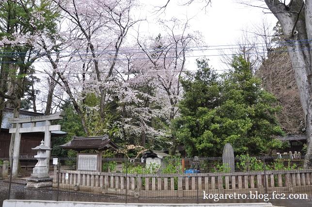 野木神社の二輪草と桜5
