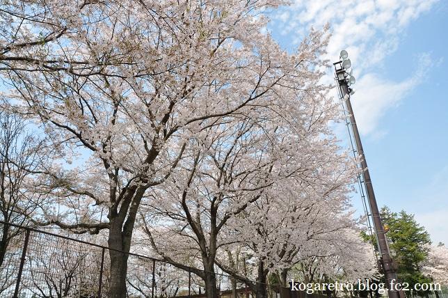 野木町総合運動公園の桜2