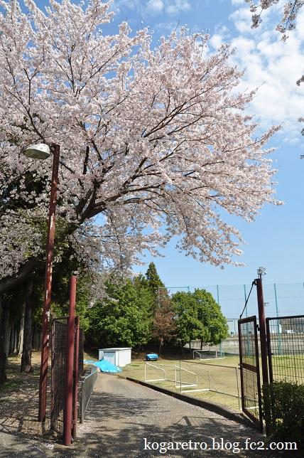 野木町総合運動公園の桜3