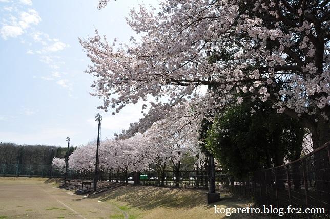 野木町総合運動公園の桜4