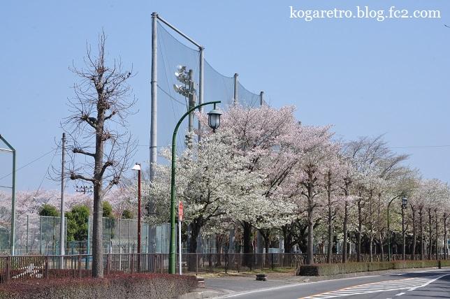 野木町総合運動公園の桜5