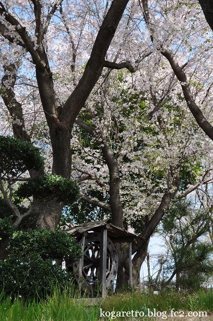 野木町ホープ館の桜2