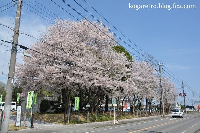 野木町ホープ館の桜3