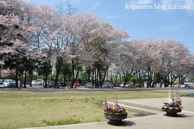 野木町ホープ館の桜4