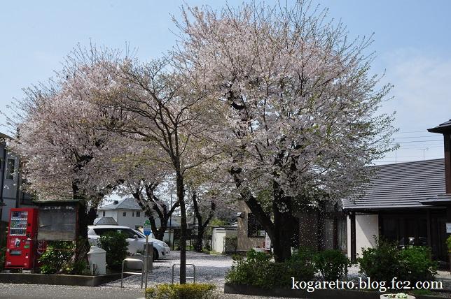 ふれあいの家の桜