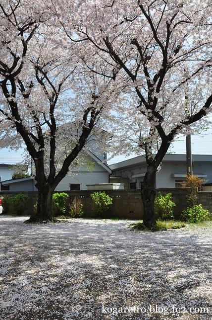 ふれあいの家の桜3