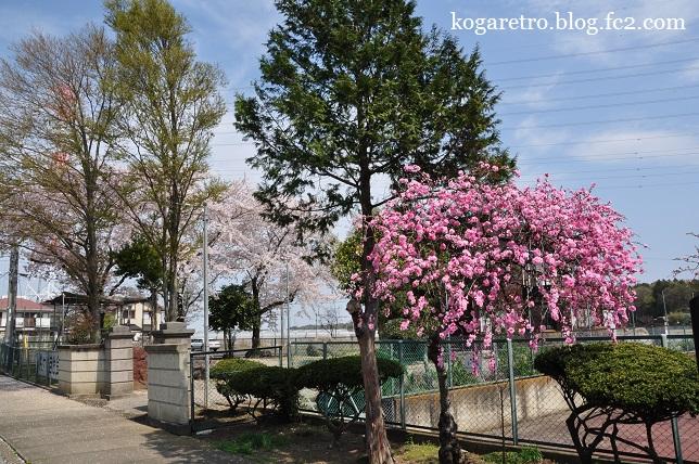 桃公園の桜