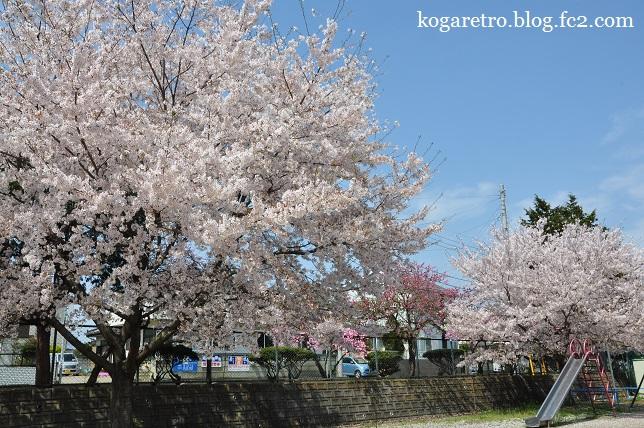 桃公園の桜2