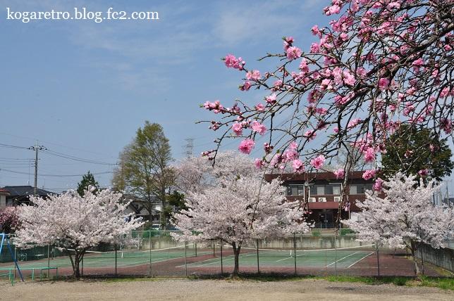 桃公園の桜3