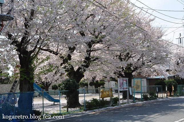 三角公園の桜3