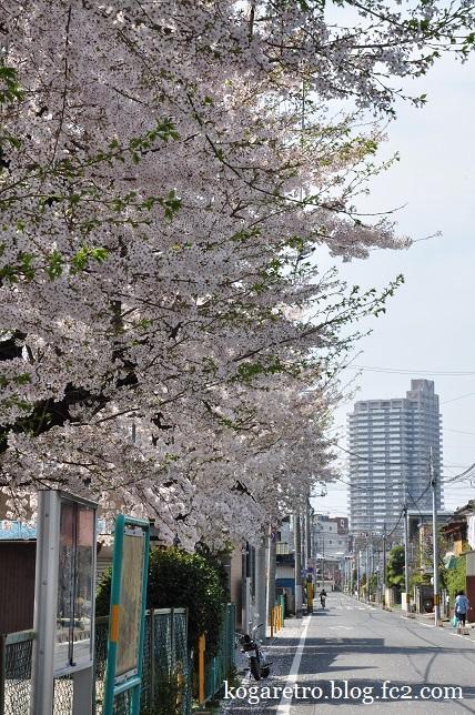 三角公園の桜4