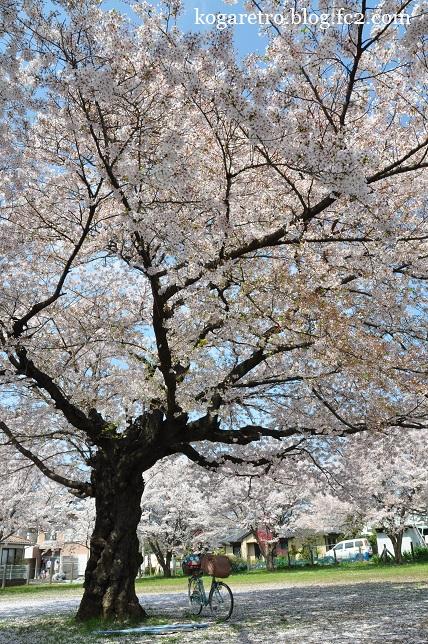 古河市内の空き地の桜2