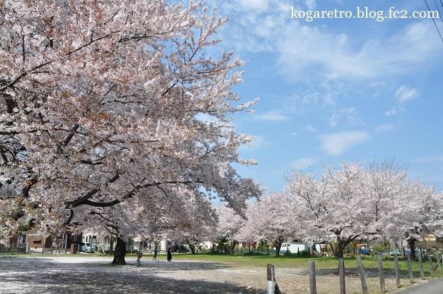 古河市内の空き地の桜3