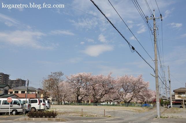 古河市内の空き地の桜