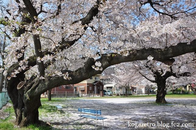 古河市内の空き地の桜4