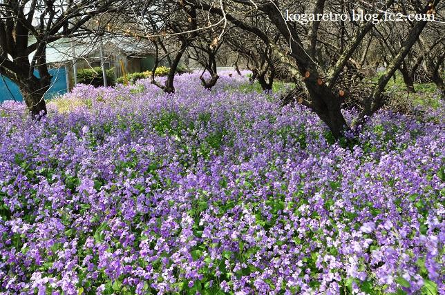古河市内の空き地の桜5