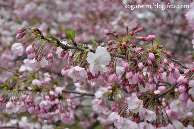 小山の思川桜3