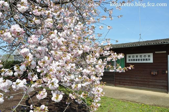 結城農場の桜