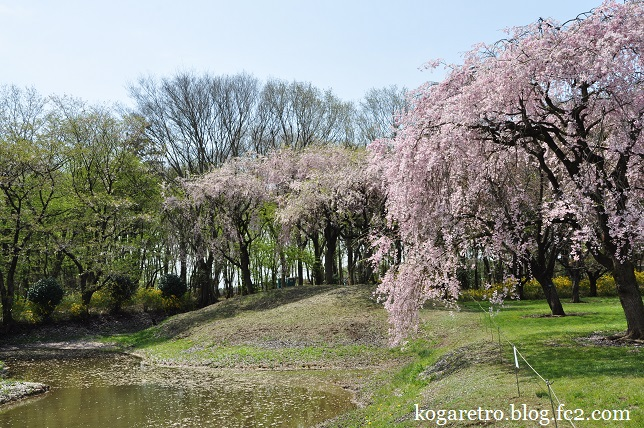 結城農場の桜3