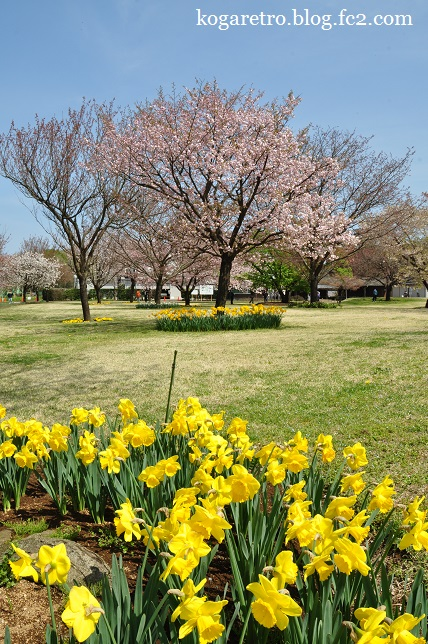 結城農場の桜4
