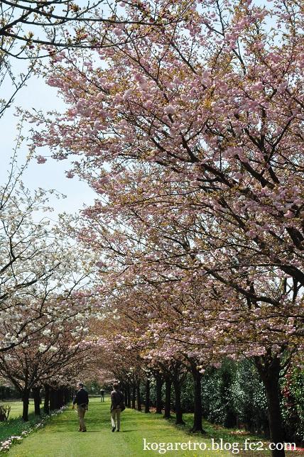 結城農場の桜5