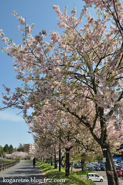 小山の思川桜(2)