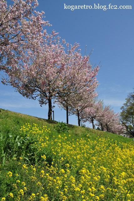 小山の思川桜(2)2