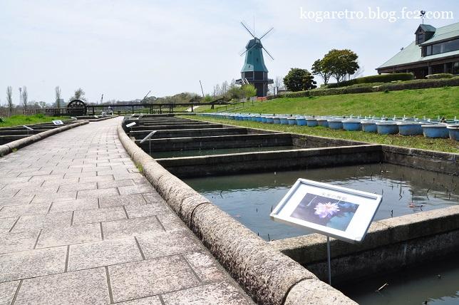 霞ヶ浦の風車とチューリップ6