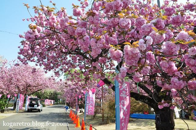 天平の丘の桜