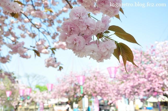 天平の丘の桜2