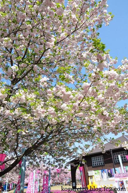 天平の丘の桜3