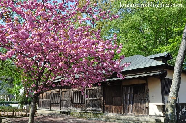 天平の丘の桜4