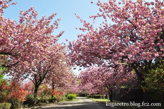 天平の丘の桜5