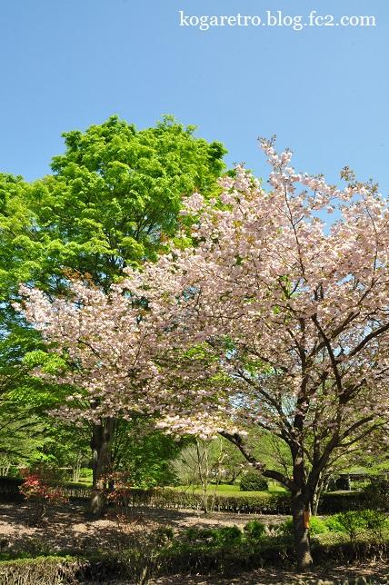 天平の丘の桜6