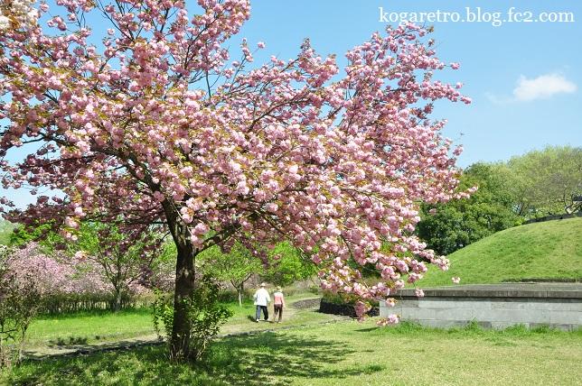 天平の丘の桜7