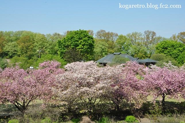 天平の丘の桜8