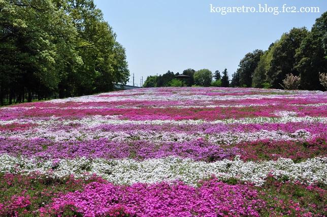 野木町の公園の芝桜2