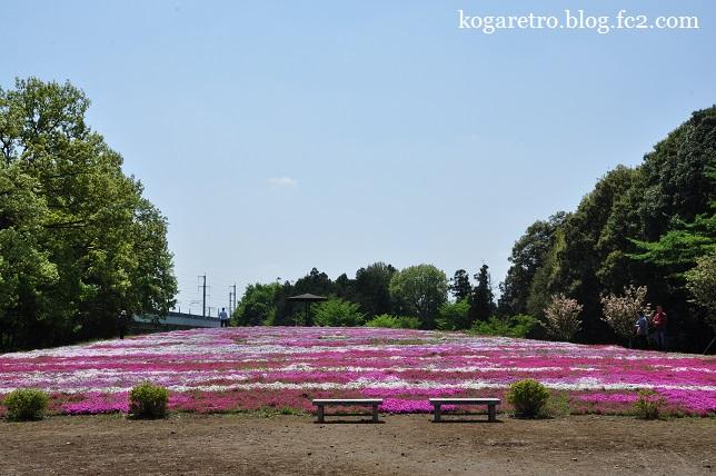 野木町の公園の芝桜3