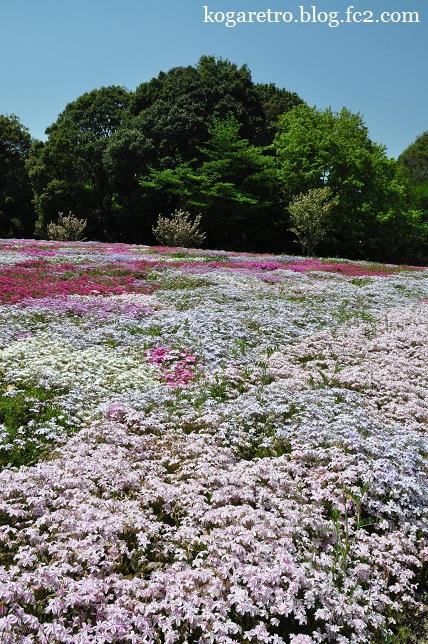 野木町の公園の芝桜4