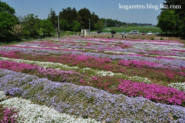 野木町の公園の芝桜5