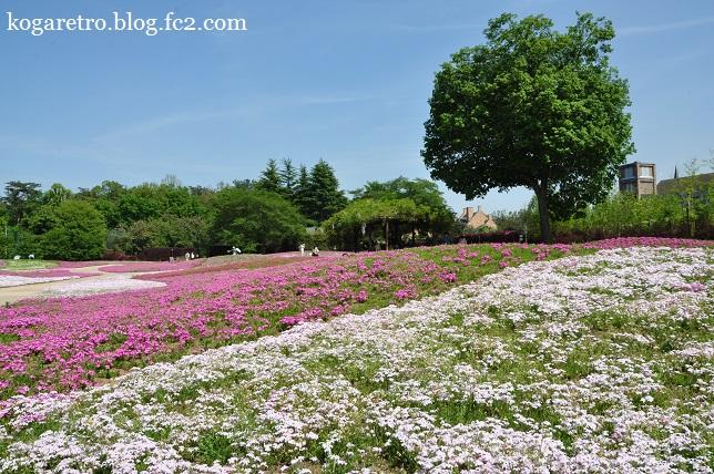 ザ・トレジャーガーデンの芝桜2